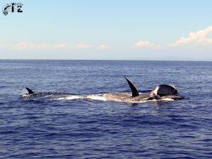 baleine d'Omura / Omura whale
