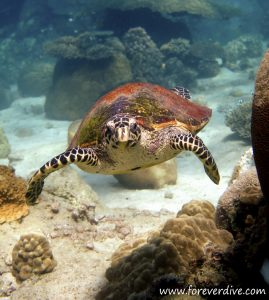 tortue imbriquee
