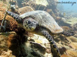 tortue imbriquee nosy be