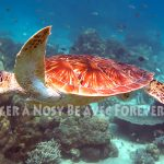 tortue careta careta