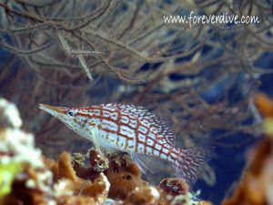 poisson faucon nosy be forever dive
