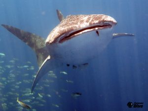 requin baleine club de plongee nosy be