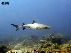 requin pointe blanche club de plongee nosy be