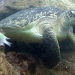tortue verte club de plongee nosy be