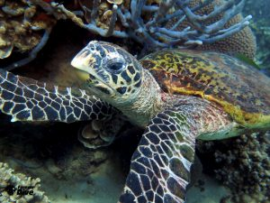 tortue imbriquee nosy be (2) juin 2018 fd